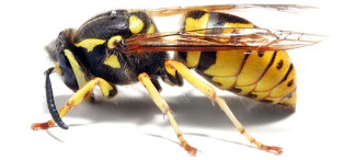 Yellow Jacket Extermination and Removal - Portland OR - Vancouver WA