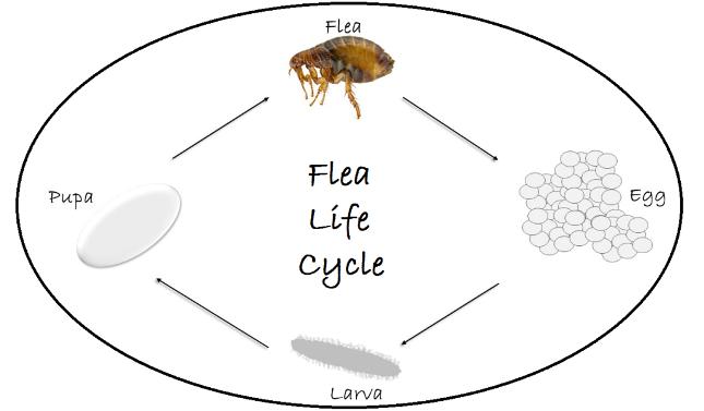 Flea Exterminator - Flea removal - Flea pest control - Portland OR - Vancouver WA