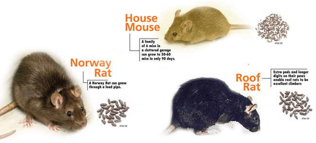Rat Extermination - Portland OR Vancouver WA