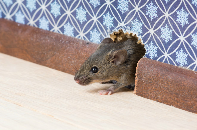 House Mouse - Bloom Pest Control