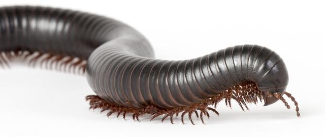 Portland Millipede, millipede pest control, millipede extermination, Portland Pest Control