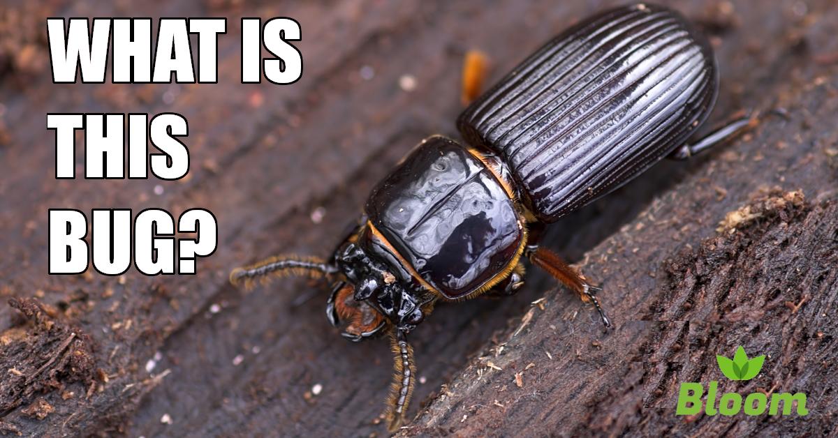 ground beetle, portland pest control, bloom pest control