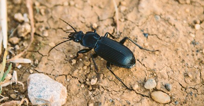Ground Beetle, bloom bug blog, blog, bloom pest control, whats this bug