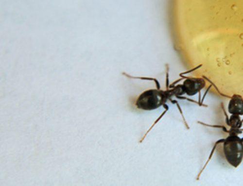 Sugar Ants Blog