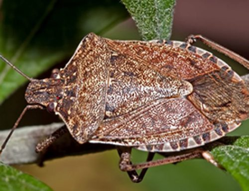 Oregon on cutting edge of Stink Bug Battle