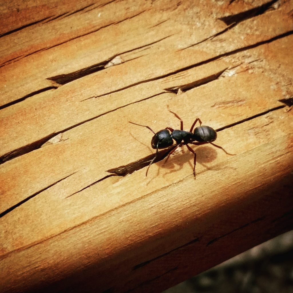 Portland Pest Control, wood destroying insects, carpenter ant, bloom pest control