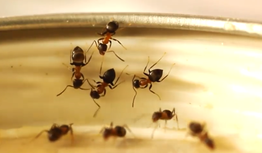 sugar ants, portland pest control, bloom pest control, odorous house ants