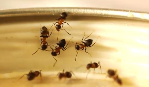 sugar ants, portland pest control, bloom pest control, odorous house ants