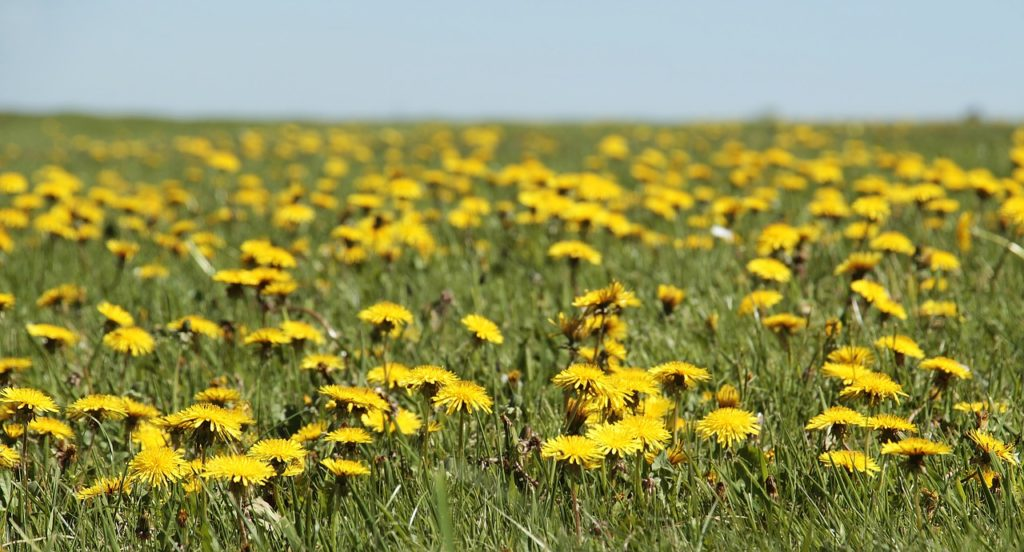 dandelions, bloom pest control, portland pest control, portland bees, bees, pest control