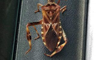 wcsb, western conifer seed bug, bloom pest control, bloom, bloom home services, pest control,